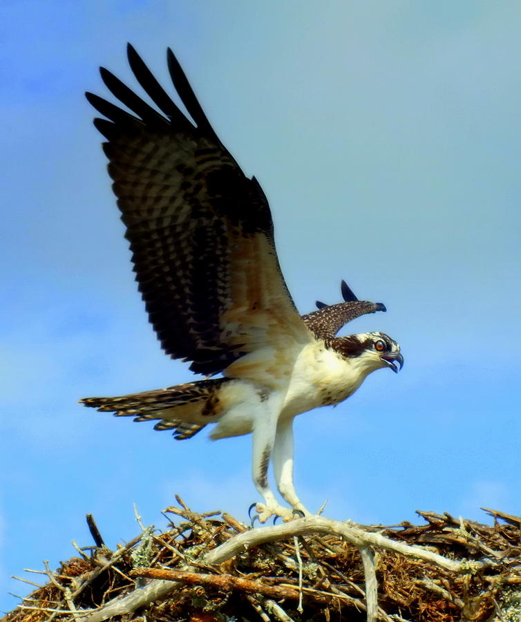 Osprey Photograph - The Landing by Karen Wiles