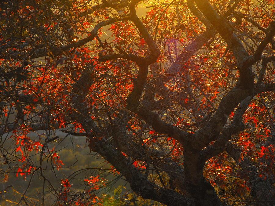 The Last Spanish Oak Leaves Left On The Tree. Photograph - The Last Leaves On The Tree by Rebecca Cearley