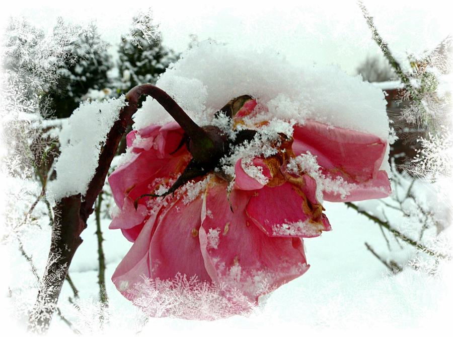 Pink Rose Mixed Media - The Last Rose by Morag Bates
