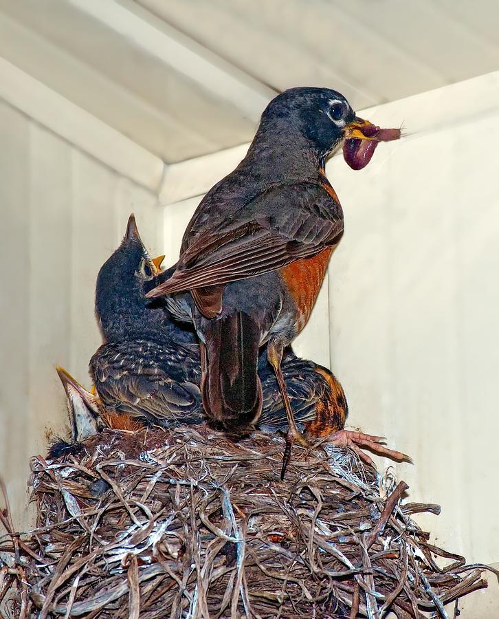 Bird Photograph - The Last Worm by Steve Harrington