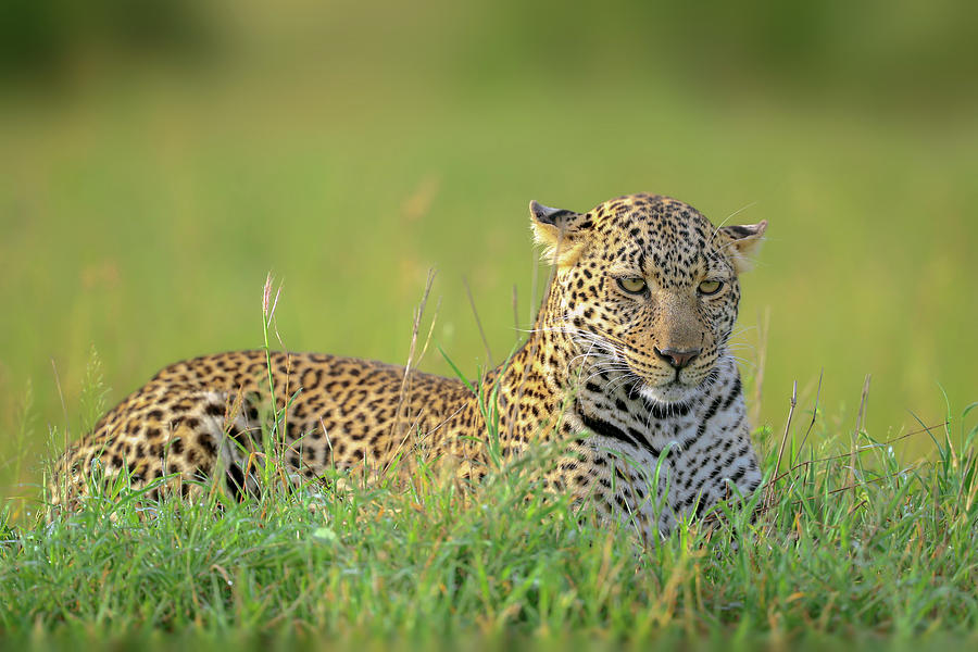 Wildlife Photograph - The Leopard by Roshkumar