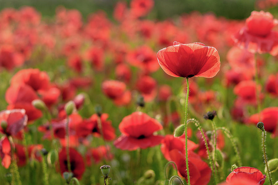 Poppy Photograph - The Light Behind by Kristin Gray
