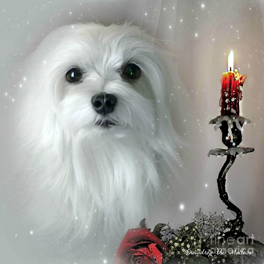 maltese Dog Mixed Media - The Light In My Life by Morag Bates