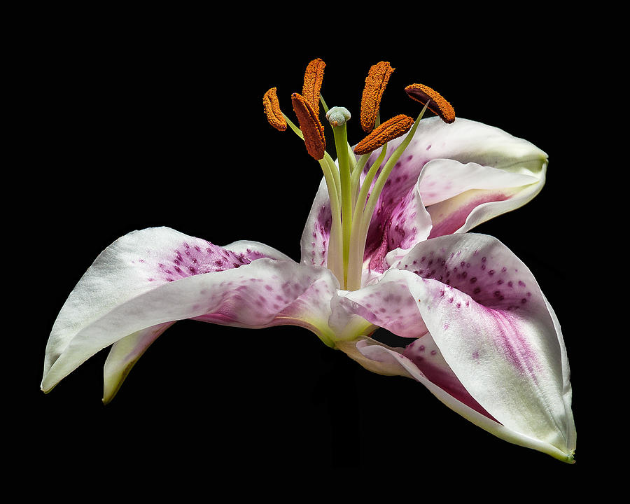 the lilly by Len Romanick