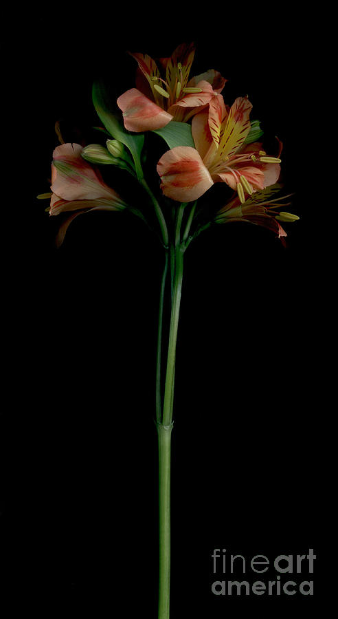 Lily Photograph - The Lily Group by Nancy TeWinkel Lauren