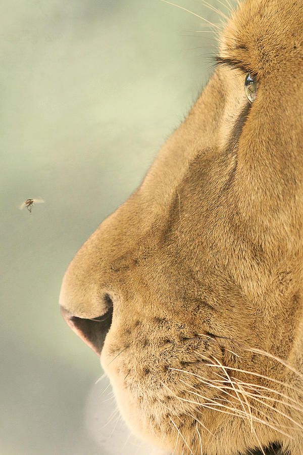 Nature Photograph - The Lion And The Fly by Carrie Ann Grippo-Pike
