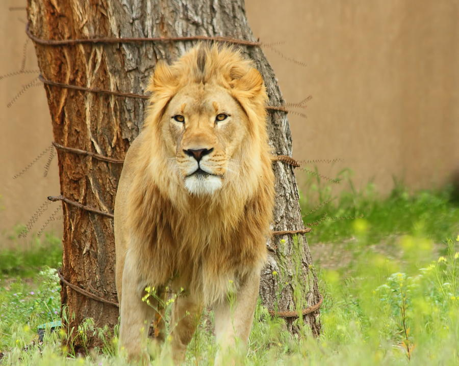 Lion Photograph - The Lion by Gene Praag