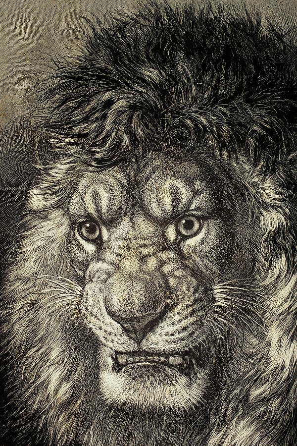 Lion Drawing - The Lion by European School