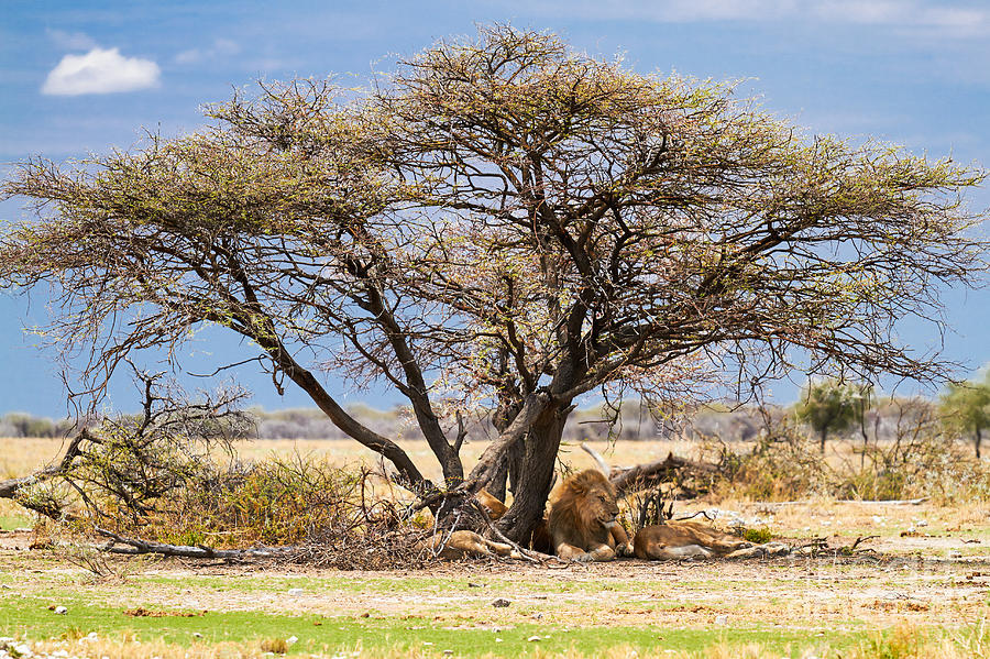 Namibia Photograph - The Lion Sleeps ..... by Juergen Klust