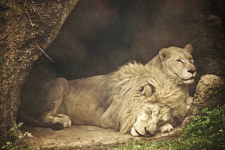 Lion Photograph - The Lion Sleeps Tonight by Trish Tritz