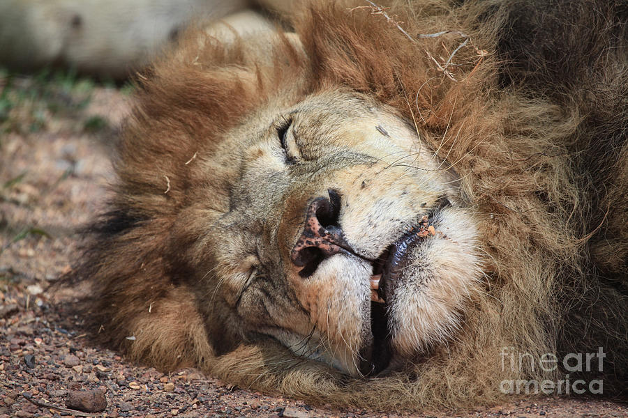 Lion Photograph - The Lion Sleeps Tonight V4 by Douglas Barnard