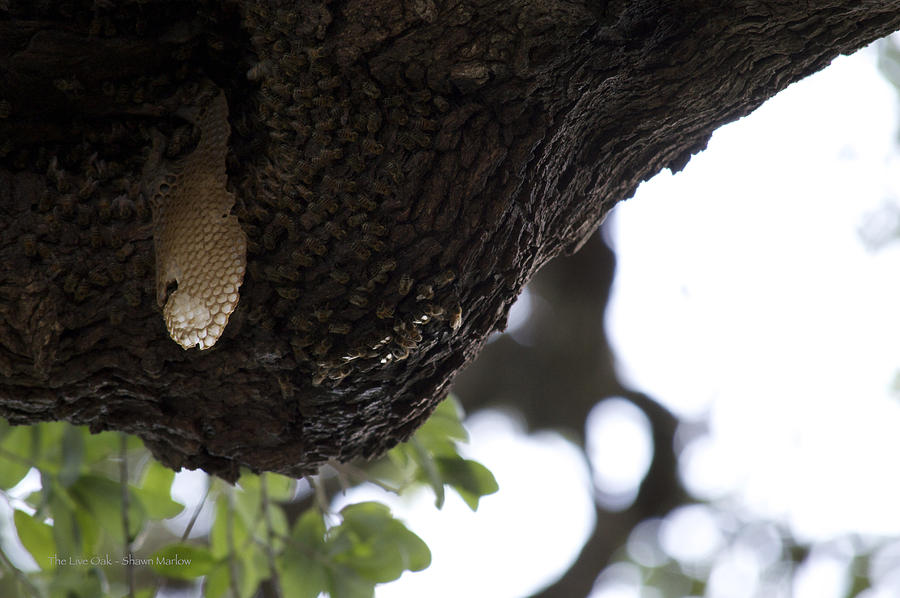 Tree Photograph - The Live Oak by Shawn Marlow
