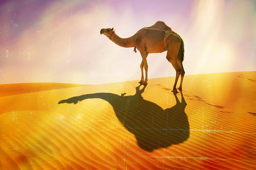 Camel Photograph - The Long Walk Home by Peter Waters