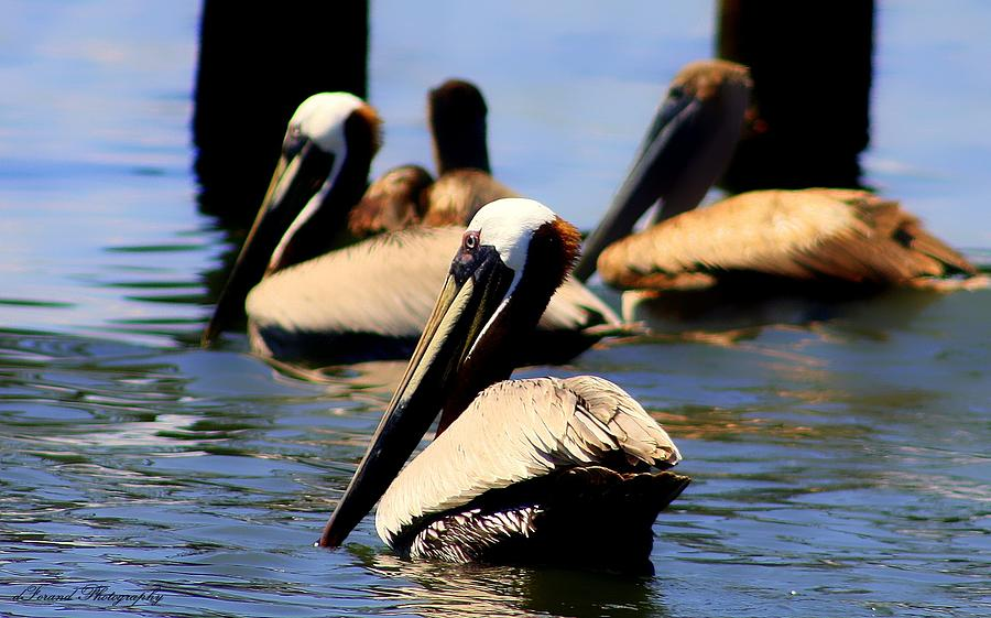 Pelican Photograph - The Lovely Pelican  by Debra Forand
