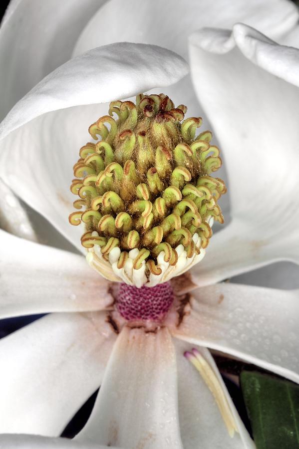 Magnolia Grandiflora Photograph - The Magnolia Debutante by JC Findley