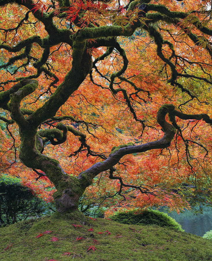 Portland Japanese Garden Photograph - The Maple Tree at Portland Japanese Garden by David Gn