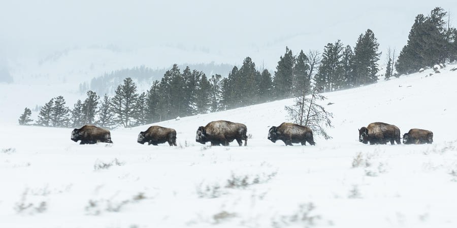 Yellowstone National Park Photograph - The March by Robert Yone