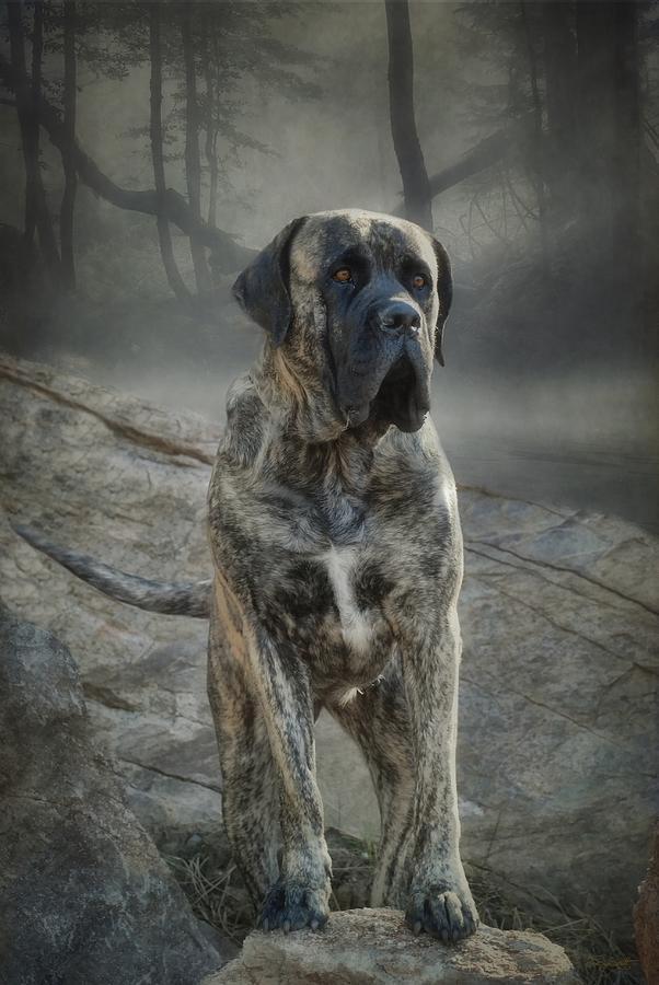 Mastiff Photograph - The Mastiff by Fran J Scott