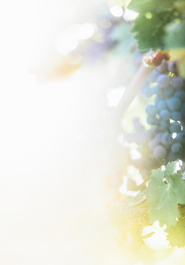 Fine Art Photograph - The Modern Grape 3 by Clint Brewer