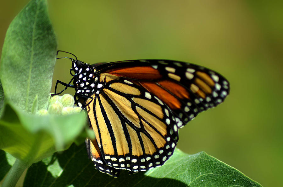 Monarch Photograph - The Monarch by Camille Lopez