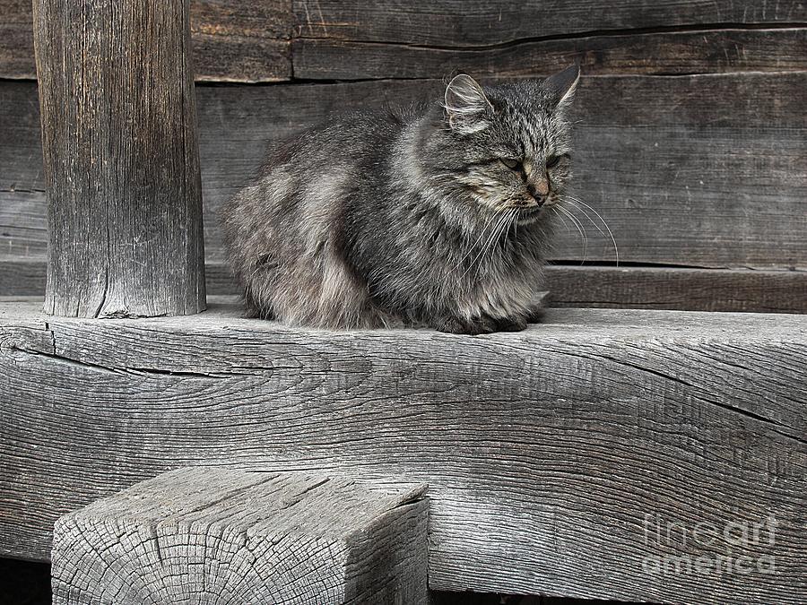 Cat Photograph - The Moody Grey by Halyna  Yarova