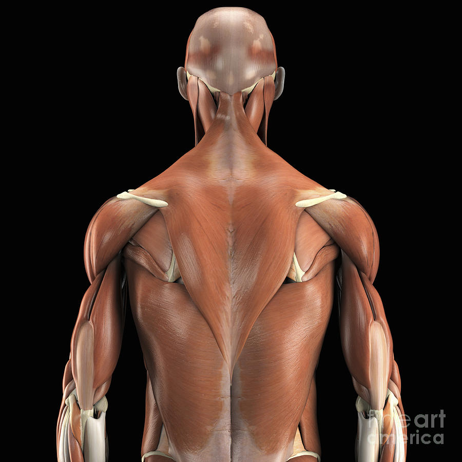 The Muscles Of The Upper Body Rear Photograph By Science Picture