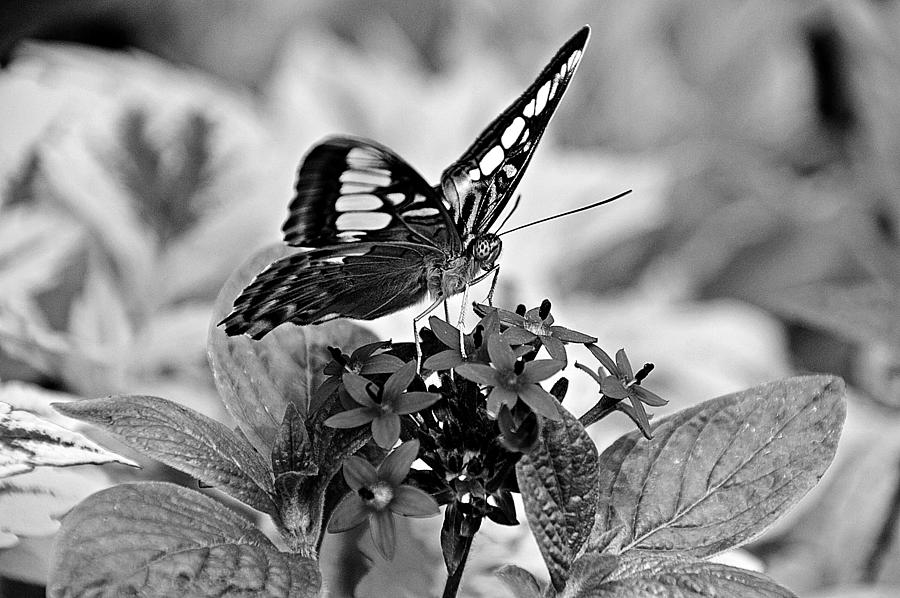 Butterfly Photograph - The Nature of Black and White by David Earl Johnson