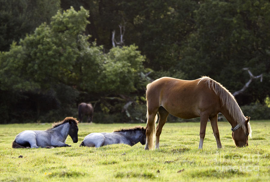 Pony Photograph - The New Forest  by Angel  Tarantella