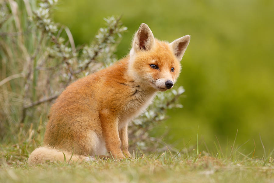 Cub Photograph - The New Kit ...Curious Red Fox Cub by Roeselien Raimond