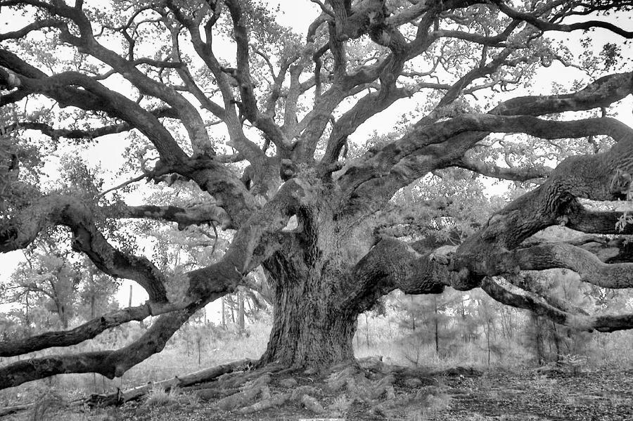 Live Oak Photograph - The Oak King by Eagle  Finegan
