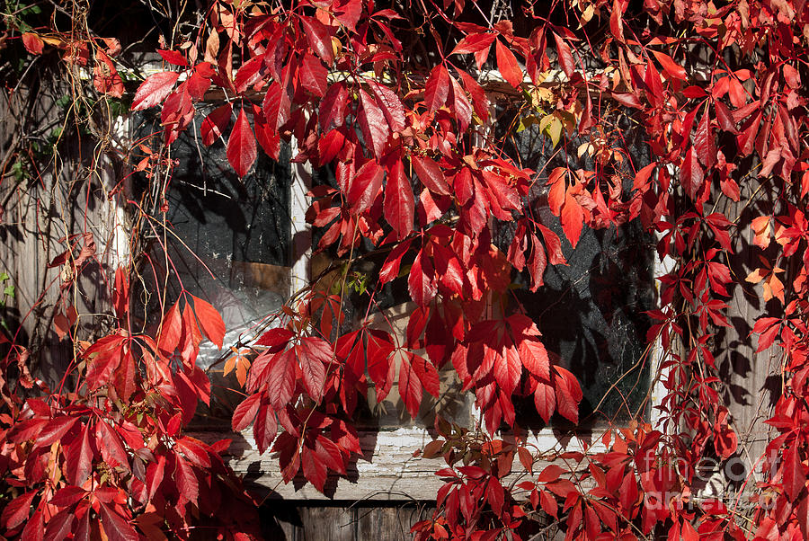 Virginia Creeper Photograph - The Old Shed by John Edwards