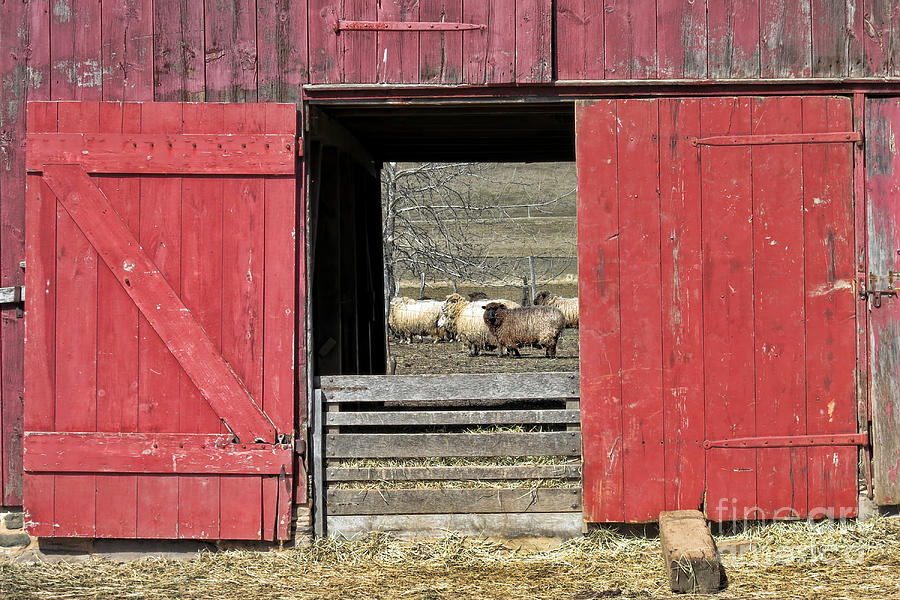 Sheep Photograph - The Old Sheep Barn by Olivier Le Queinec