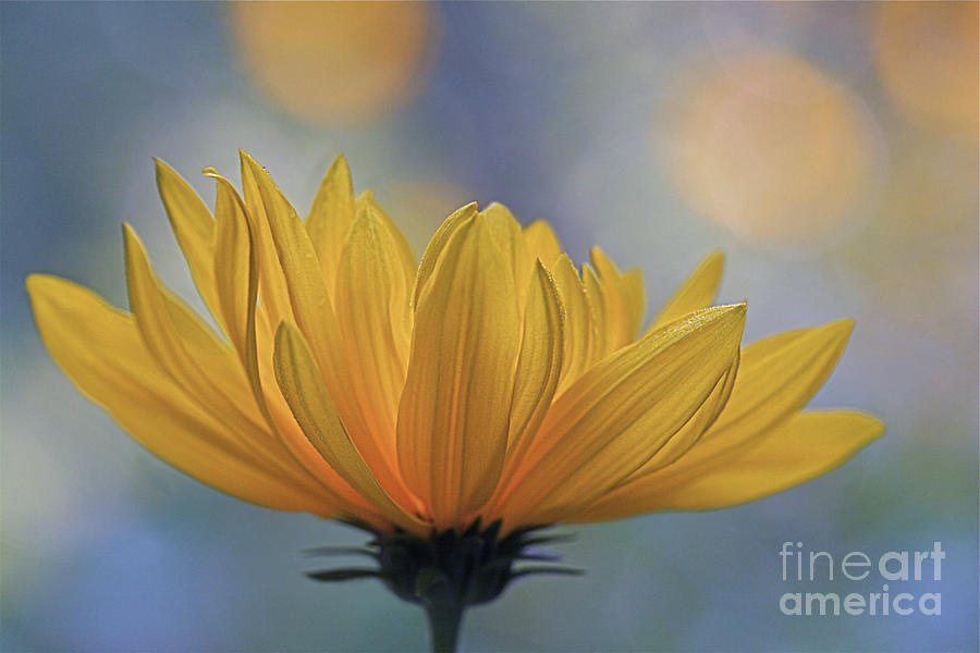 Sunflower Photograph - The One Who Dances With Light by Maria Ismanah Schulze-Vorberg