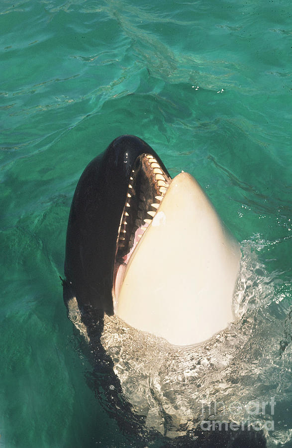 Original Photograph - The Original Shamu Orca At Sea World San Diego California 1967 by California Views Mr Pat Hathaway Archives