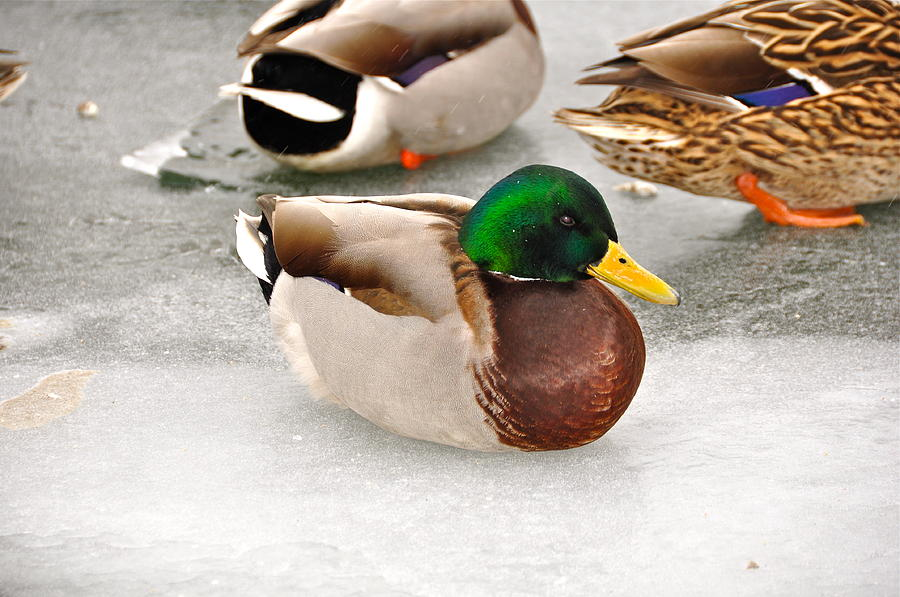 Duck Photograph - The Outcast by Catherine Renzini