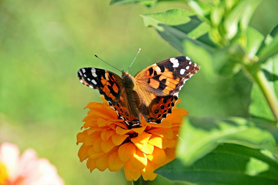 Zinnia Photograph - The Painted Lady and the Zinnia by David Earl Johnson