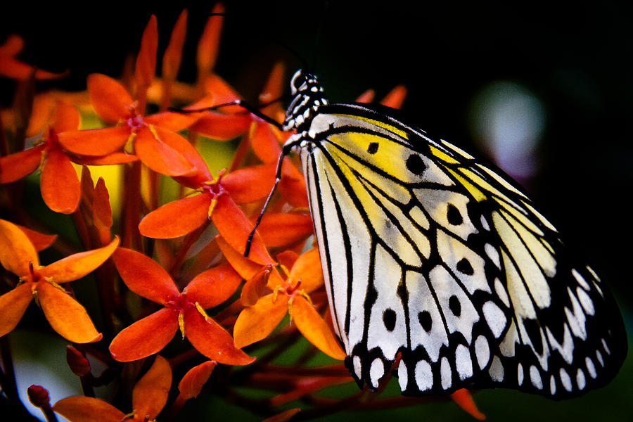 Butterfly Photograph - The Paper Kite Butterfly by David Patterson