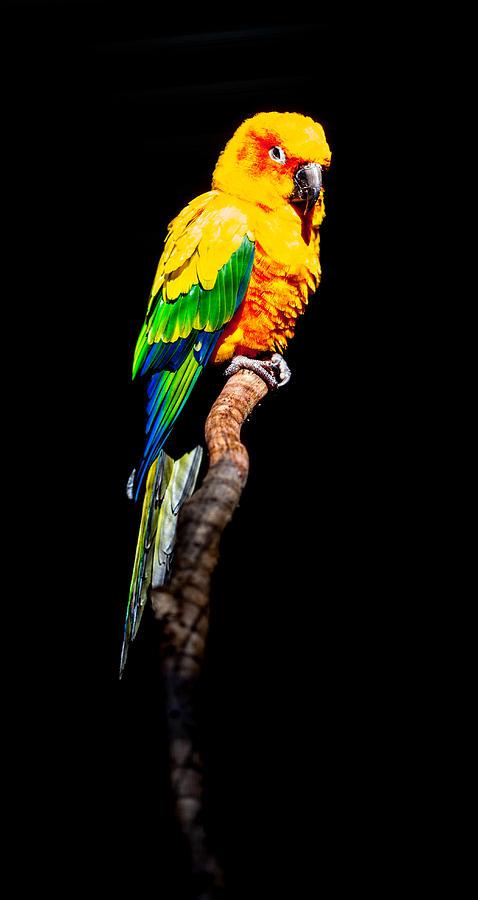 Parrot Photograph - The Parrot by Dasmin Niriella