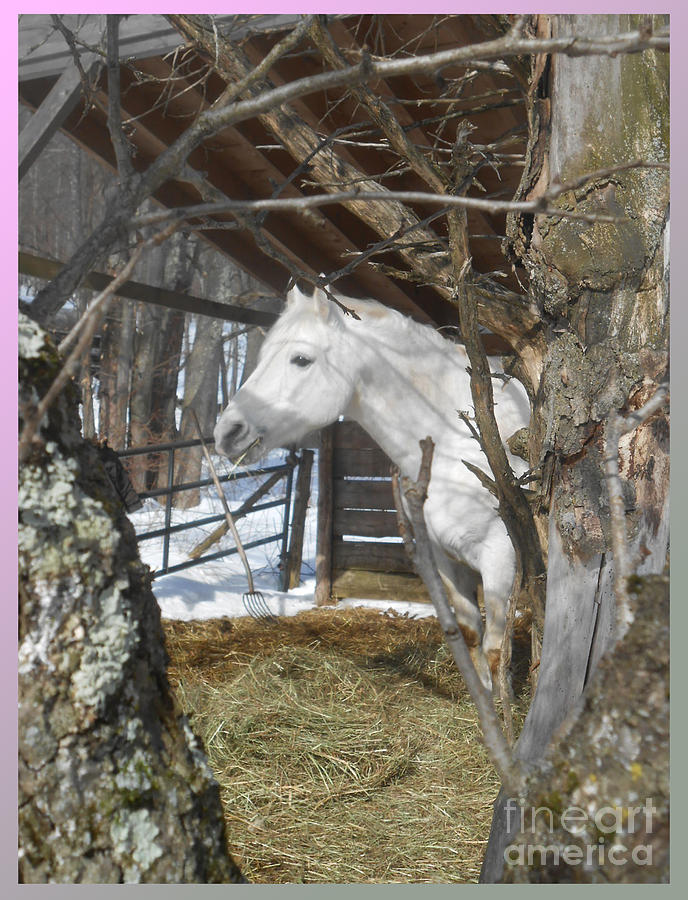 Stallion Photograph - The Paso Fino Stallion At Home by Patricia Keller