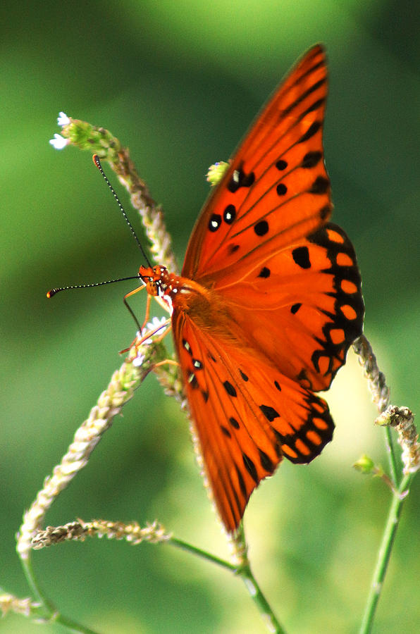 Gulf Fritillary Photograph - The Passion Butterfly by Kim Pate