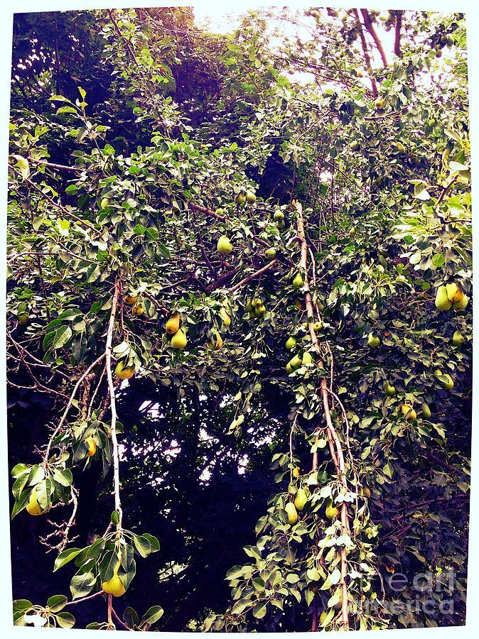 Pear Tree Photograph - The Pear Tree by Garren Zanker