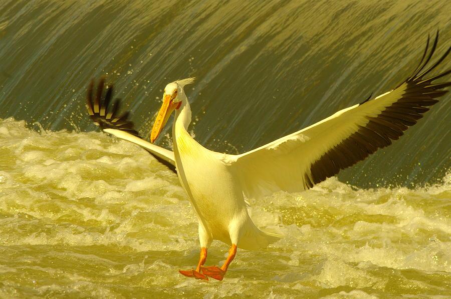 Birds Photograph - The Pelican Lands by Jeff Swan
