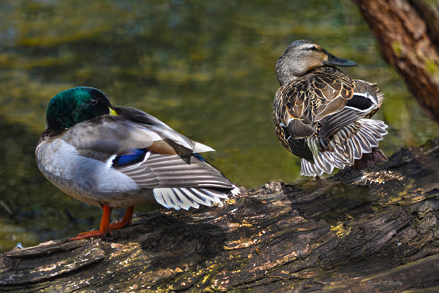 Mallard Photograph - The Perfect Mallard Couple by Sandi OReilly