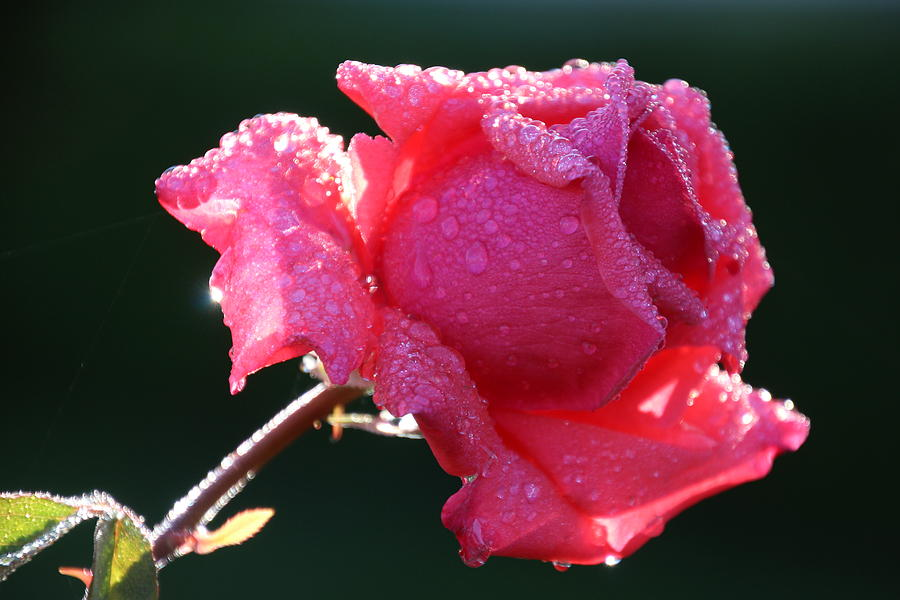 Flower Photograph - The Perfect Rose by Michael Williams