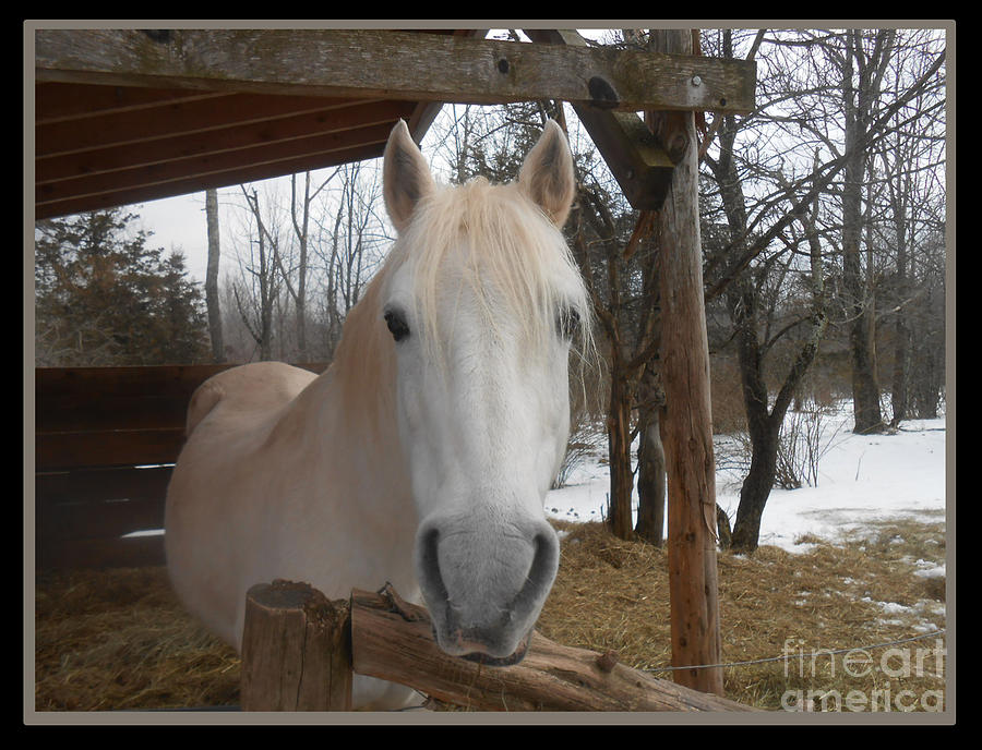 Horse Photograph - The Picture Perfect Paso Fino Stallion by Patricia Keller