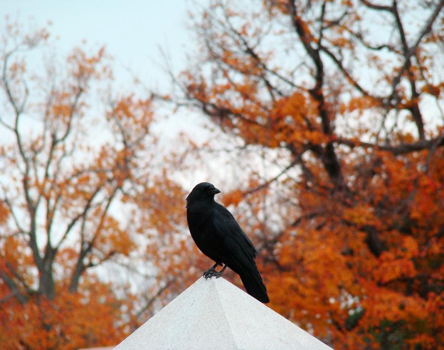 Blackbird Photograph - Crow Found The Perfect Pyramid Point by Gothicrow Images