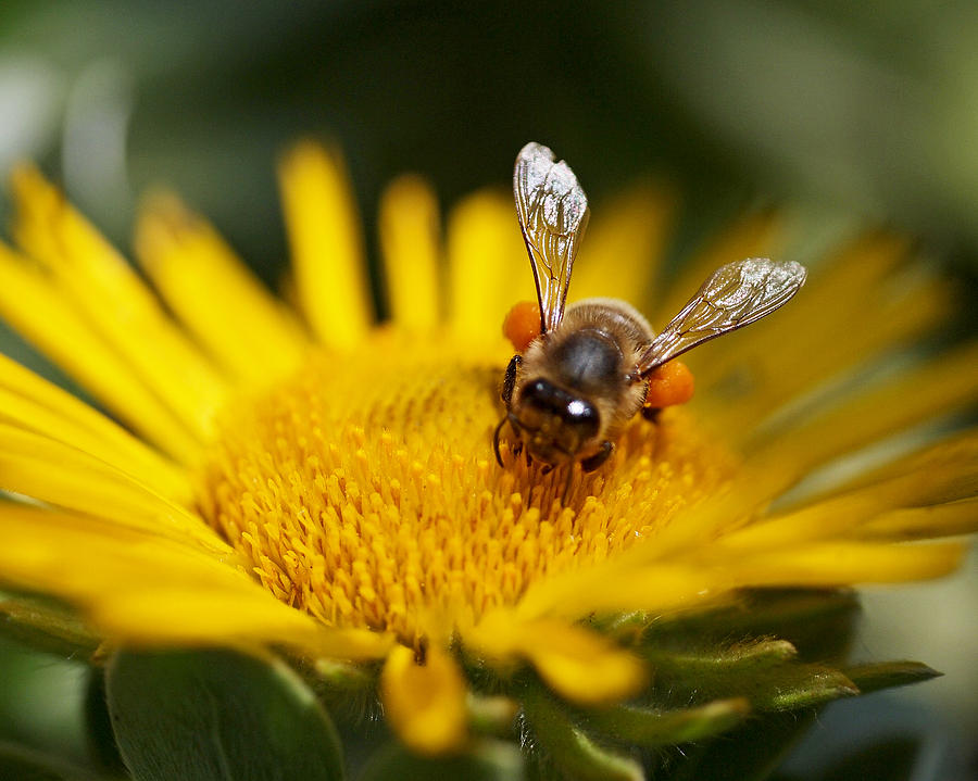 Yellow Photograph - The Pollinator by Rona Black