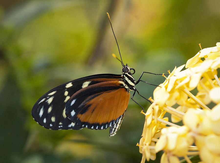 Postman Butterfly Photograph - The Postman Butterfly  by Saija  Lehtonen