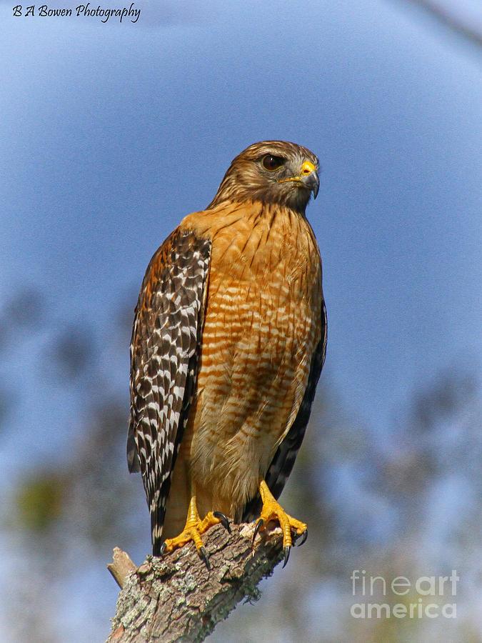 Red-shouldered Hawk Photograph - The Predator by Barbara Bowen