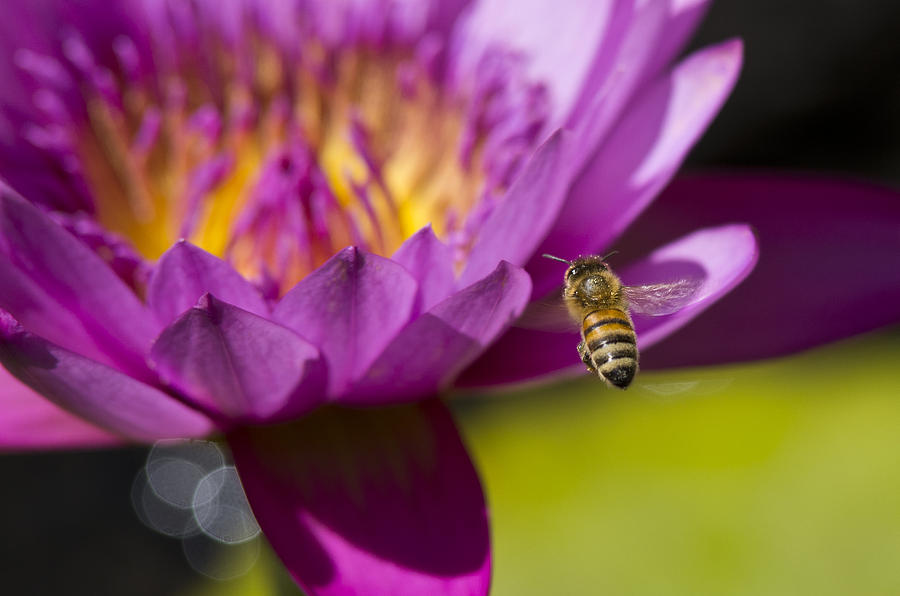 Floral Photograph - The Promise Of Pollen by Priya Ghose